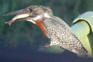 Giant-kingfisher-&-fish