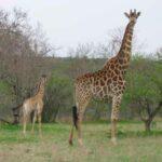 Giraffe-(4)