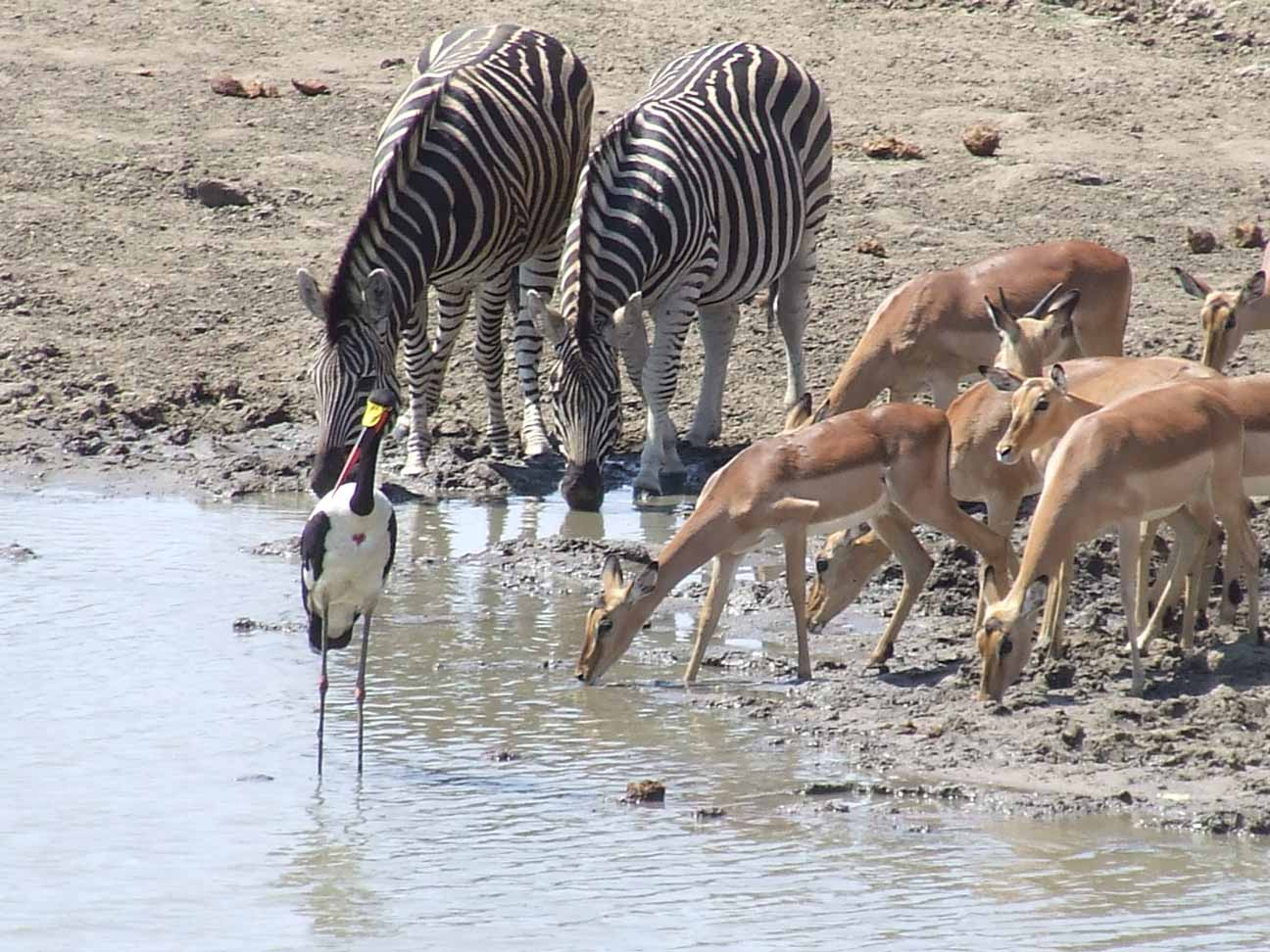 Impala-Zebra