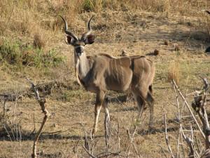 Kudu-(2)