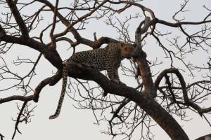 Leopard-(2)