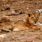 Lion-(2)