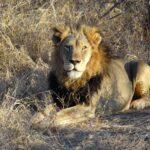 Lion-(3)