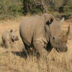 Rhino-(1)