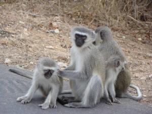 Vervet-Monkey-(2)