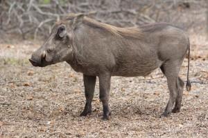 Warthog-(1)