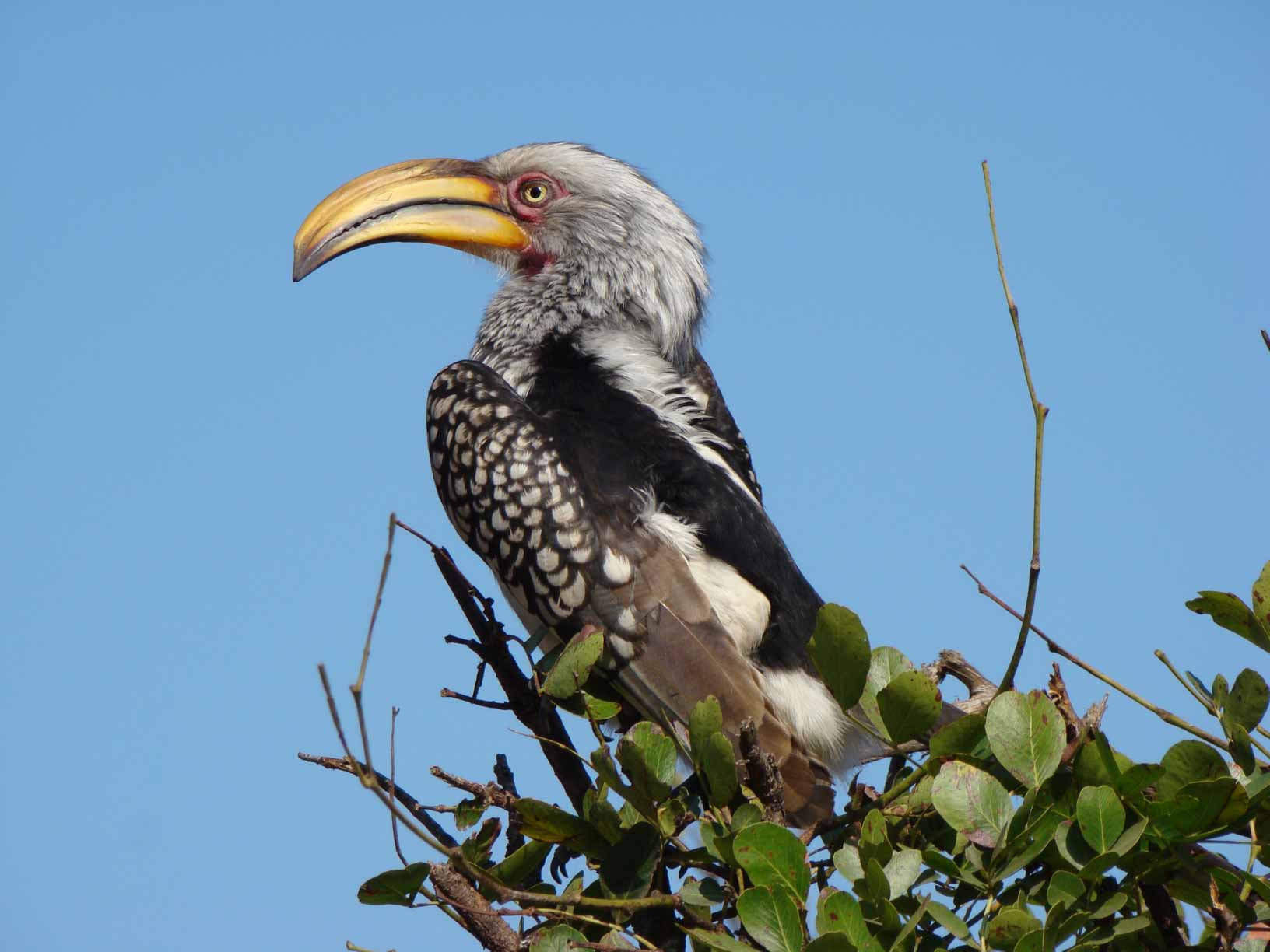 Yellow-billed-Hornbill