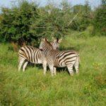 Zebra-(1)