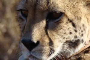 cheetah-(2)