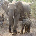 elephant-(6)