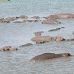 hippo-(1)