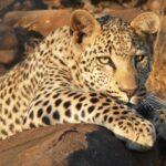 leopard-(1)